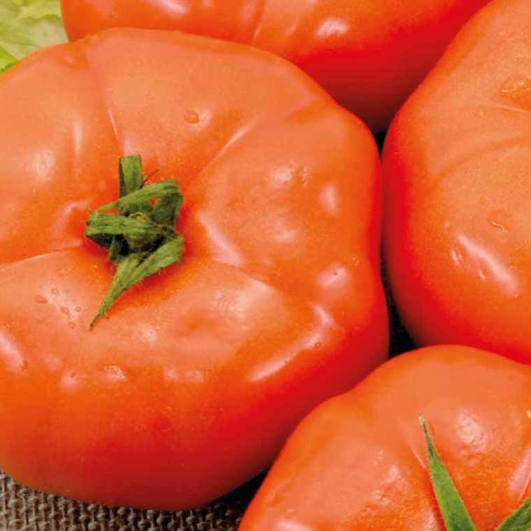 Tomate ronde Royale Des Guineaux bio. Le pot compostable de 10.5 cm 191167