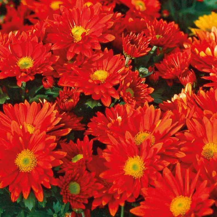 Chrysanthème vivace rouge. Le pot de 9x9 cm 191616
