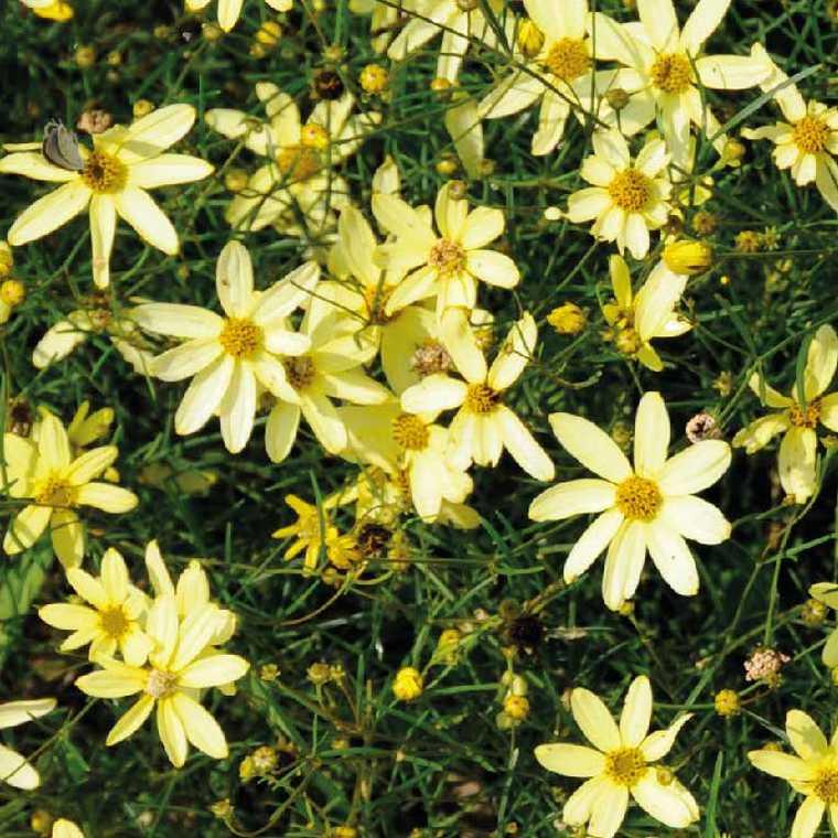 Coreopsis Verticillata. Le pot de 9x9 cm 191618