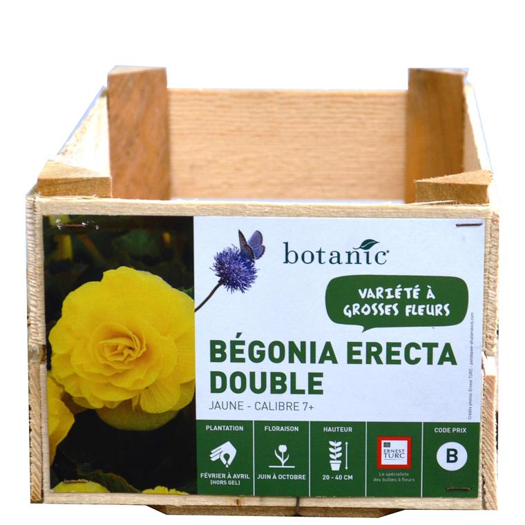 Bégonia Erecta double Jaune calibre 7/+ en vrac 196954