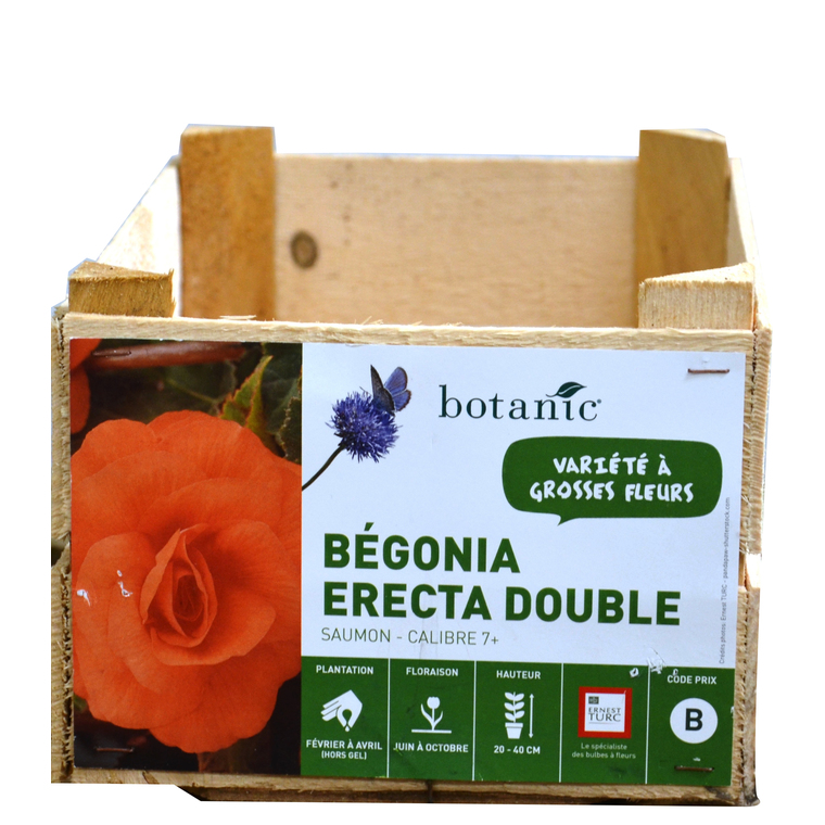 Bégonia Erecta double Orange calibre 7/+ en vrac 196956