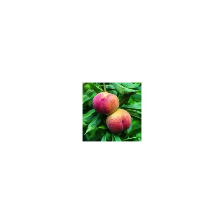 Pêcher Springcrest forme Gobelet racines nues 197649