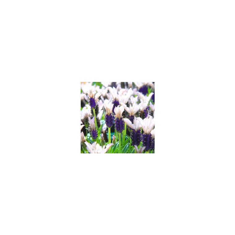 Lavandula Stoechas Tiara Blanc en pot de 4 L 198155