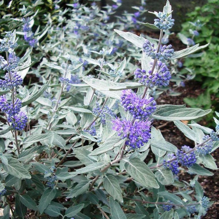 Barbe Bleue Sterling Silver (Caryopteris Clandonensis). Le pot de 8 L 198505