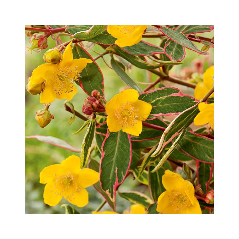 Hypericum Moserianum Tricolor 198915
