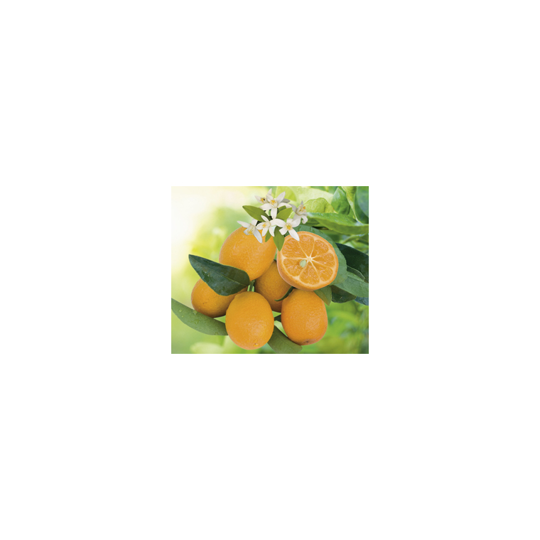 Kumquatine en pot de 3 L Bio 199325