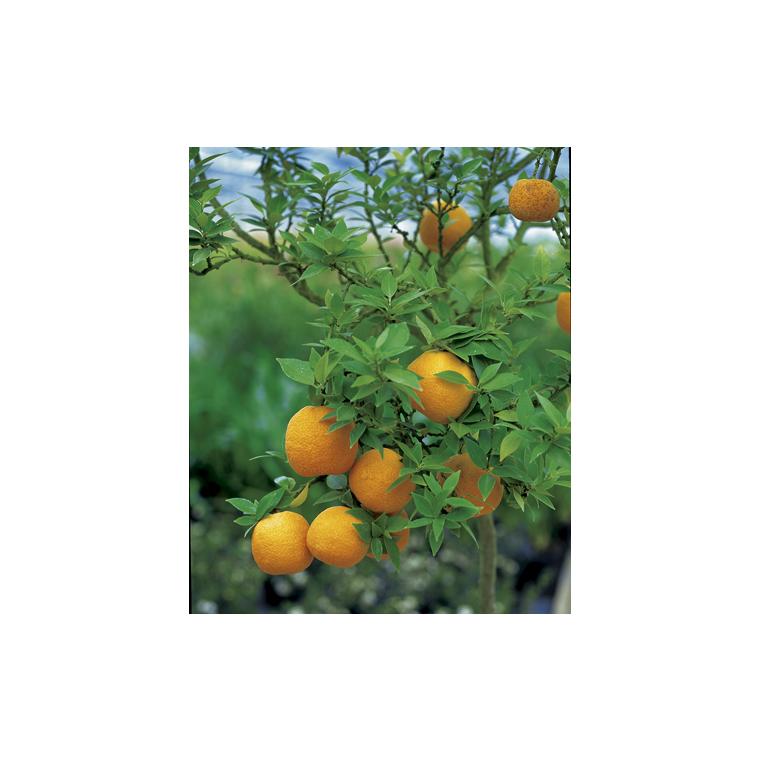 Mandarinier Chinois en pot de 3 L Bio 199335