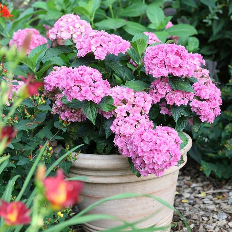 Hortensia You & Me Together (Hydrangea) rose. Le pot de 8 litres 199633