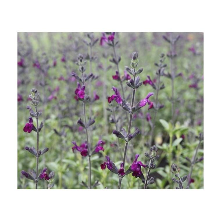 Salvia X Jamensis Violette De Loire ®. Le pot de 5 litres 199768