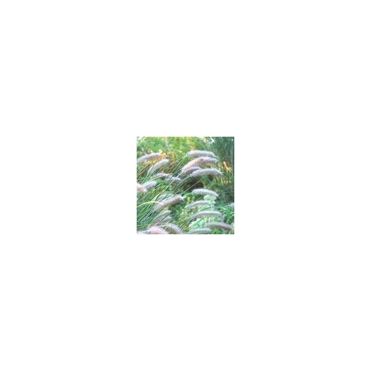 Pennisetum Alopecuroides Moudry. Le pot de 3 litres 199772