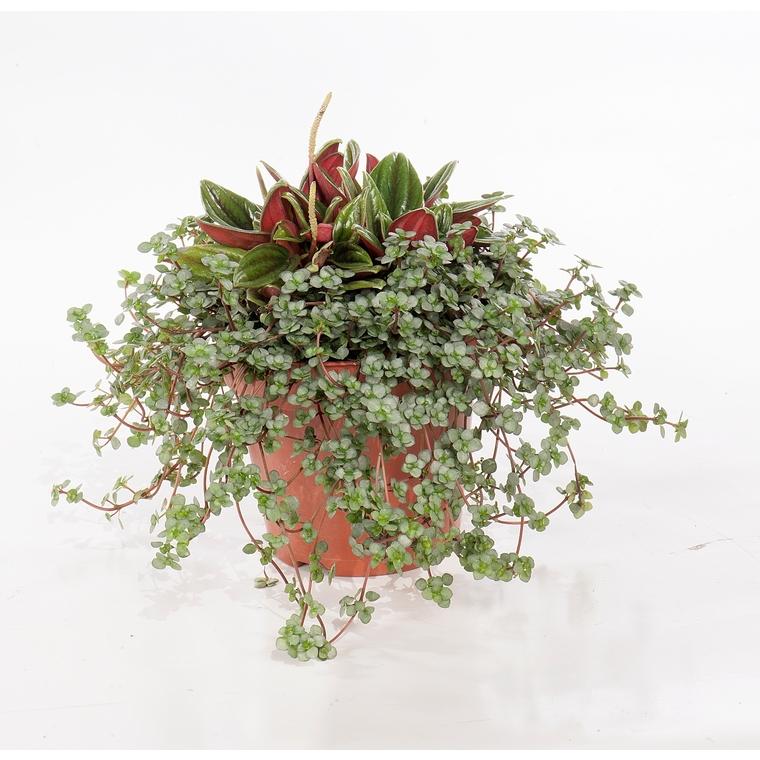 pilea peperomia rosso duo plantes et fleurs d 39 int rieur. Black Bedroom Furniture Sets. Home Design Ideas