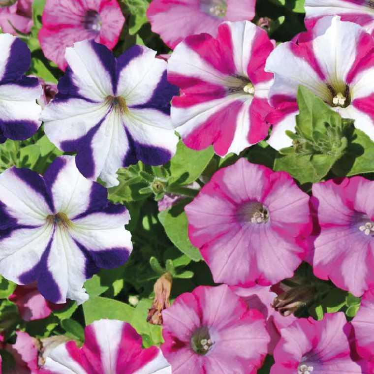 p tunia retombant bicolore le pot de 9x9 cm plantes pour jardini res balcon terrasse botanic. Black Bedroom Furniture Sets. Home Design Ideas