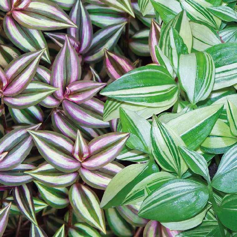 Misère. Le pot de 9 x 9 cm : Plantes pour jardinières balcon terrasse - botanic®