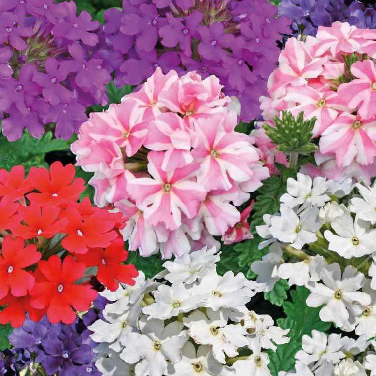 verveine retombante le pot de 9 x 9 cm plantes balcon et terrasse nos produits botanic. Black Bedroom Furniture Sets. Home Design Ideas