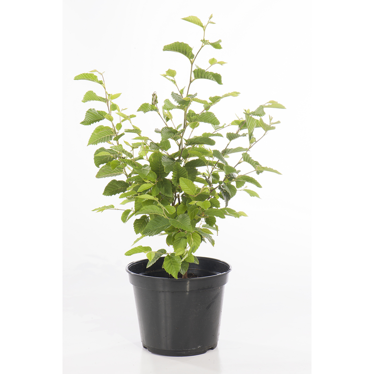 charme houblon en pot de 3 litres plantes nos produits botanic. Black Bedroom Furniture Sets. Home Design Ideas
