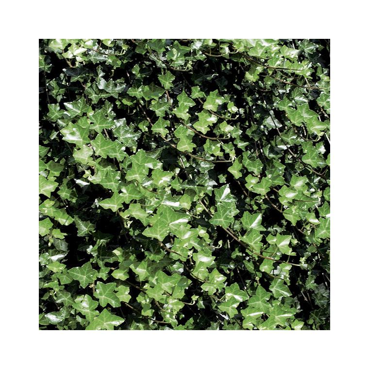 lierre d irlande en pot de 3 litres plantes grimpantes. Black Bedroom Furniture Sets. Home Design Ideas