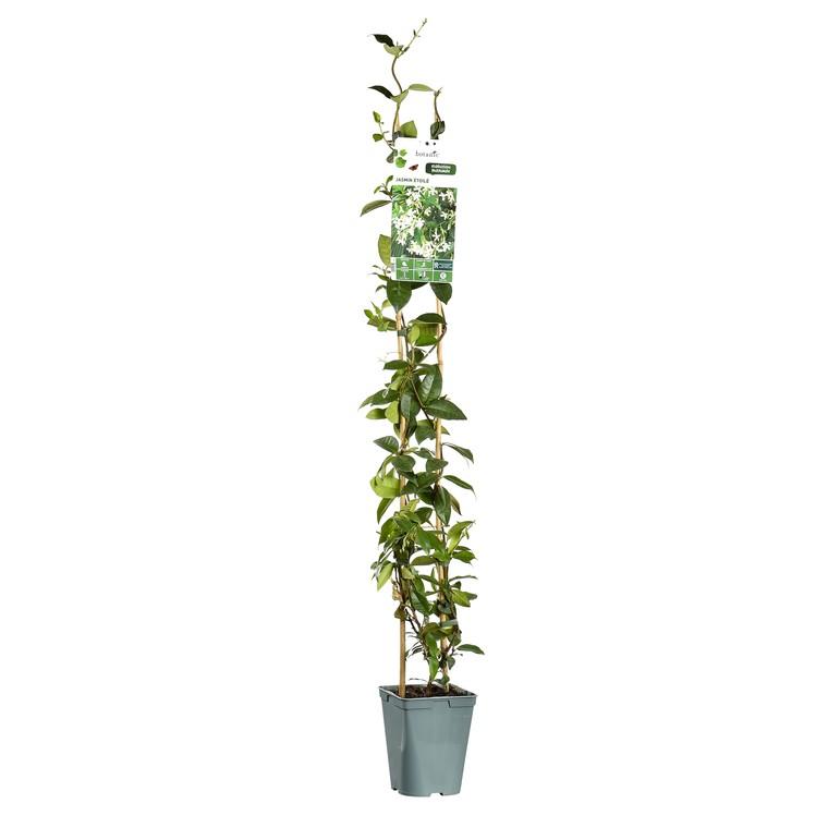 Jasmin Etoile Trachelospermum Jasminoides Le Pot De 3