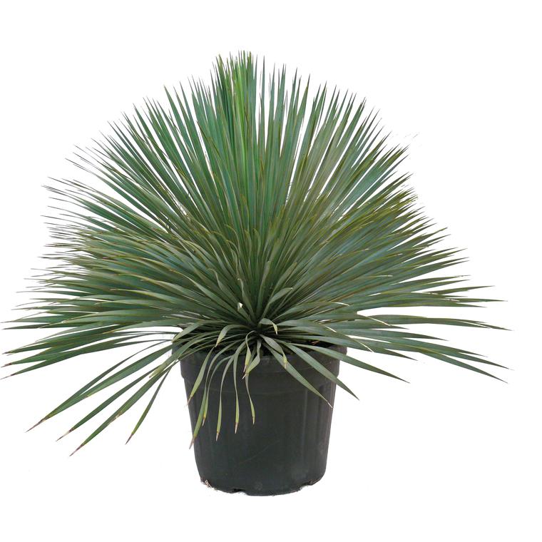 yucca rostrata palmiers balcon et terrasse balcon terrasse botanic. Black Bedroom Furniture Sets. Home Design Ideas