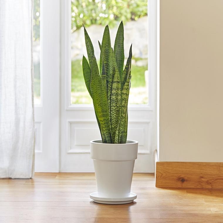 sansevieria zeylanica le pot de 18 cm plantes et fleurs d 39 int rieur nos produits botanic. Black Bedroom Furniture Sets. Home Design Ideas