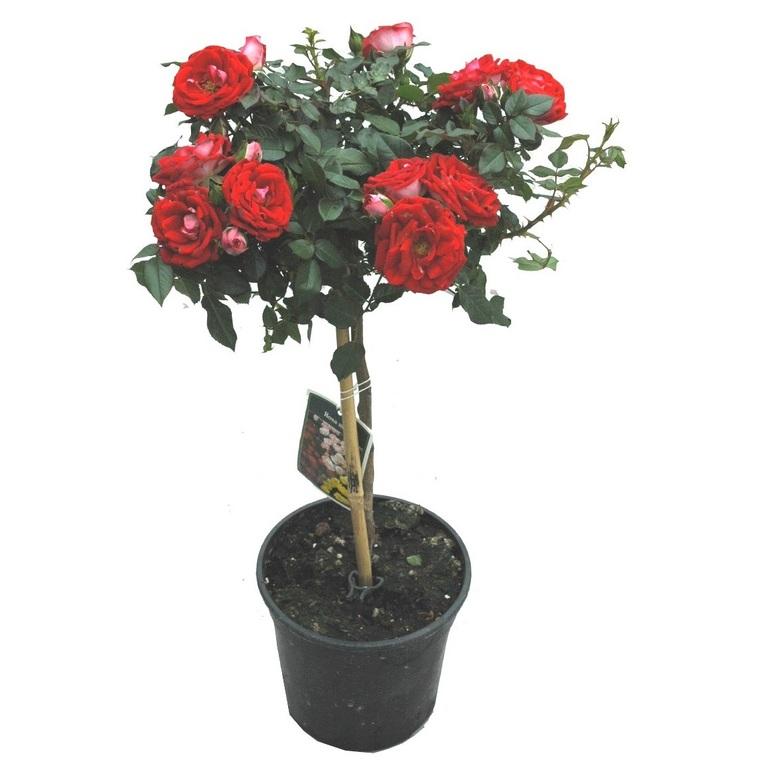 Mini rosier sur tige. Le pot de 10 litres : Rosiers balcon ...