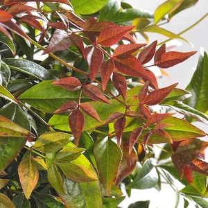 Nandina Domestica Obsessed rouge en pot 200526
