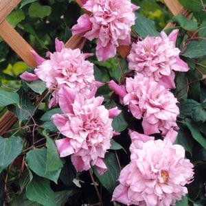 Clématite Patricia Ann Fretwell (Clematis) rose. Le pot de 4 litres 200651