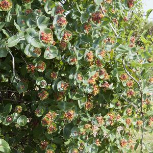 Chèvrefeuille Firecracker (Lonicera) Orange. Le pot de 4 litres 200655