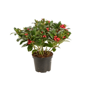 Skimmia fruit. Le pot de 1 litre 203059