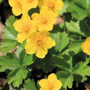 Waldsteinia Ternata. Le pot de 9x9 cm 207537