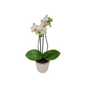 Phalaenopsis avec cache-pot Ø 6 cm 208308