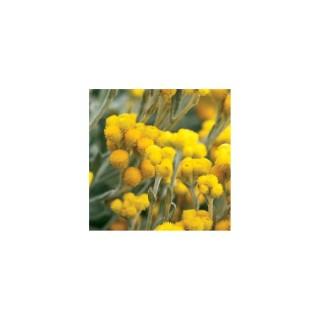 Chrysocephalum. Le pot de 2 litres 214786
