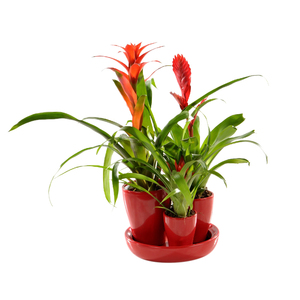 BROMELIACEE ARRANGEMENT 214793