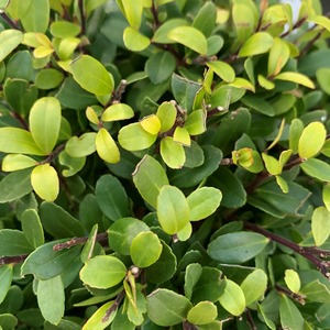 Houx crénelé (Ilex Crenata) Dark Green. Le pot de 1 litres 215157
