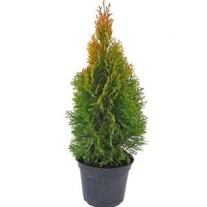 Thuya Occidentalis Golden Smaragd 40/50. Le pot de 3,7 litres 216645