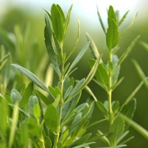 Plante répulsive Hyssopus. Le pot de 12 cm 217338
