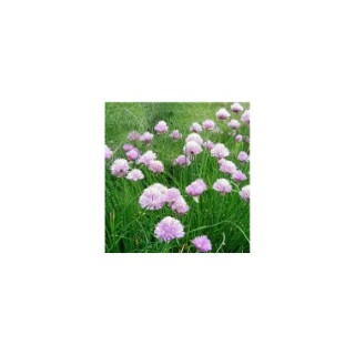 Plante répulsive Allium. Le pot de 12 cm 217343