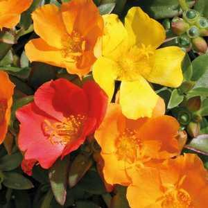 Pourpier à fleurs simples. Le pot de 9 x 9 cm 217982
