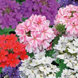 verveine retombante le pot de 9x9 cm plantes pour jardini res balcon terrasse botanic. Black Bedroom Furniture Sets. Home Design Ideas