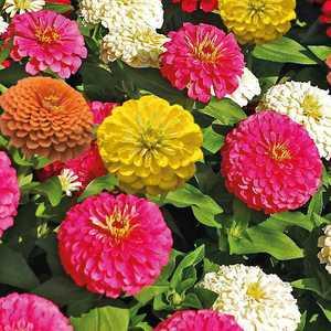 Zinnia multicolore à petites fleurs en pot de 9 x 9 cm 218007
