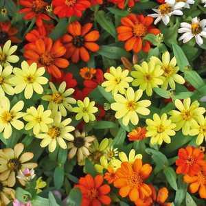 Zinnia multicolore à petites fleurs en pot de 9 x 9 cm 218008