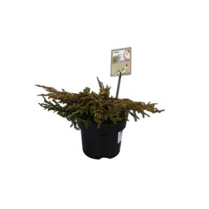 Genévrier rampant Juniperus Communis Goldschatz jaune en pot de 2 L 218890