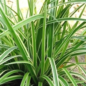 Carex Morrowi Ice Dance en pot de 2 L 218895