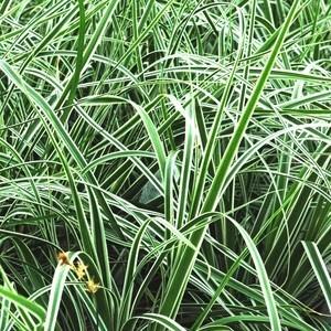 Laîche ou Carex Oshimensis Everest en pot de 2 L 218897