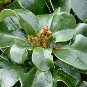 Troène Ligustrum japonicum Rotundifolium en pot de 2 L 218934
