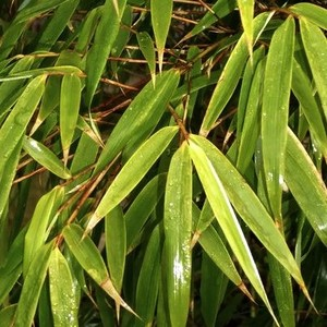 Bambou Fargesia Nitida Great Wall en pot de 2 L 218942