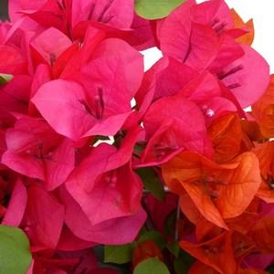 Bougainvillier Sanderiana en boule – Pot couleur 220164