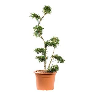Bonsai Ilex Crenata 220333