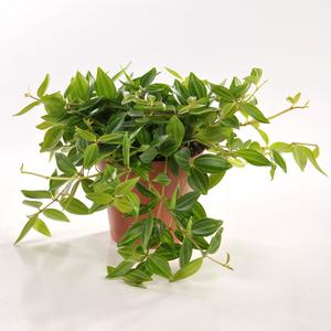 Peperomia angulata en pot Ø 12cm 221855
