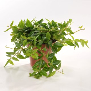 Peperomia angulata 221855