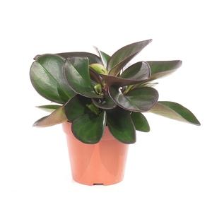 Peperomia clusifolia 221856
